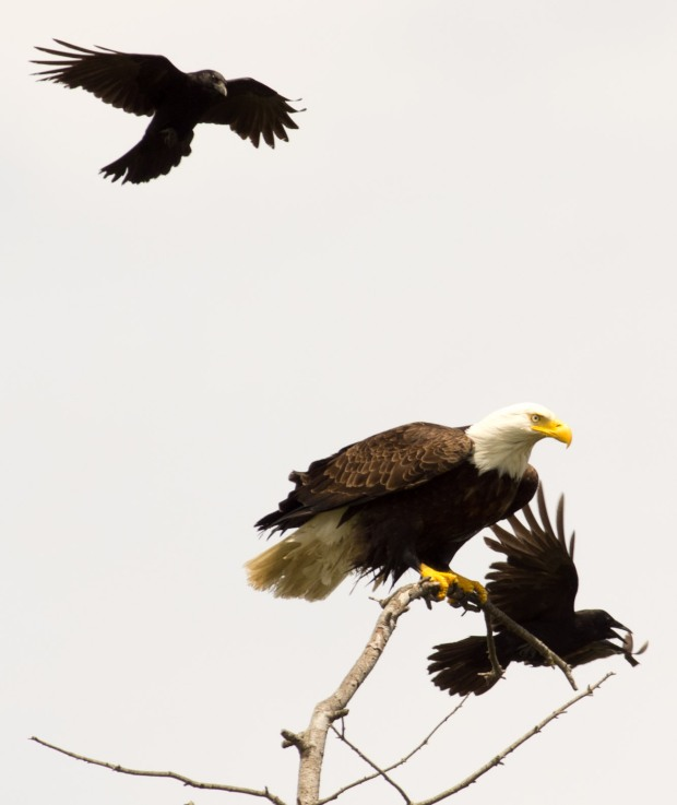 Eagle w/unwanted guests
