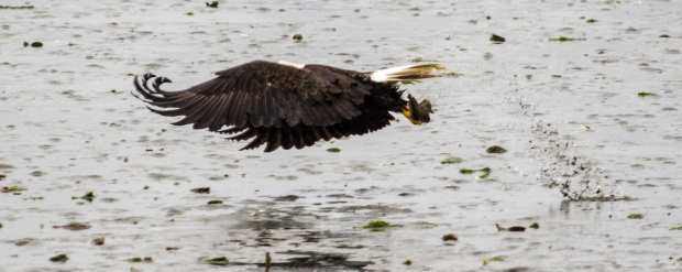 This is an interesting shot. Eagle is ready to thrust away, notice his curled wing tips, maximum thrust. Also, the splash behind him where he captured the fish.