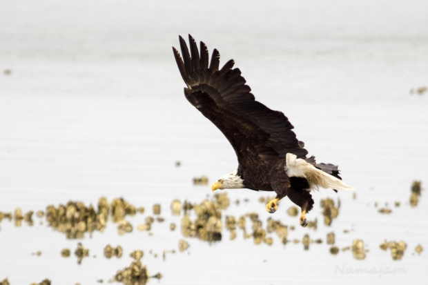 Eagle spots snack and starts to bank right.