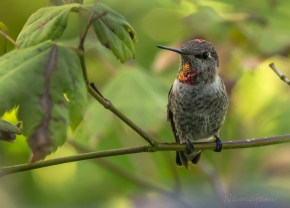 Anna's Hummingbird is just as interested in me as I of him.