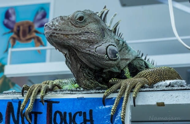 This large Green Iguana watches everyone who walks through the door at the Bug and Lizard Museum in Bremerton.