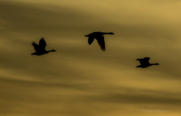 Canada Geese on their way for the evening.