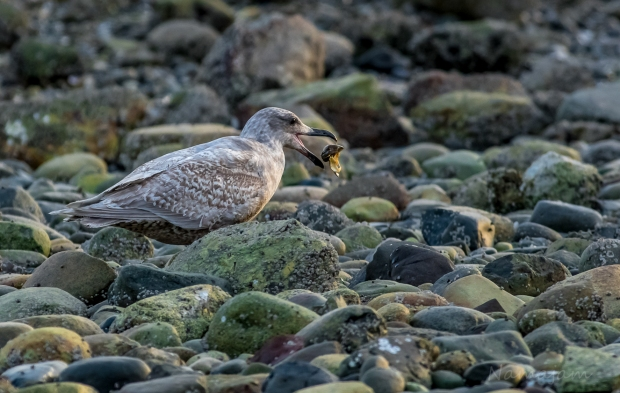 The seagull eats the clam quickly
