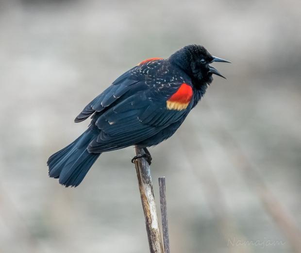 Black-wing Blackbird during mating season.