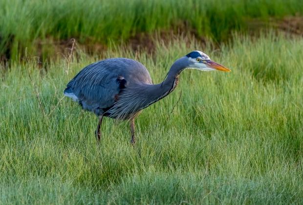 Beautiful Great Blue Heron looking for breakfast