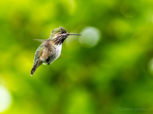 Male Calliope Hummingbird hovering, making sure I wasn't  getting too close to the nest.