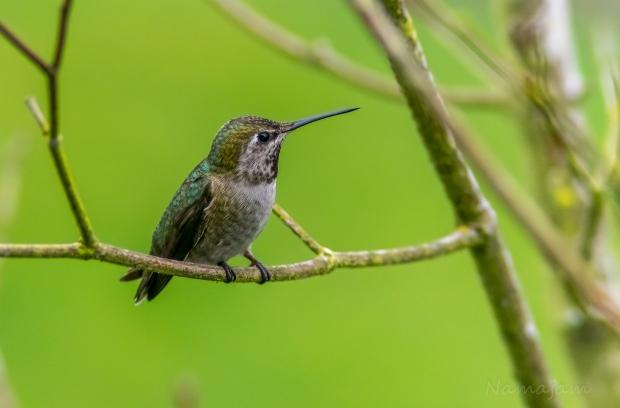 Anna's Hummingbird standing guard near the nectar.