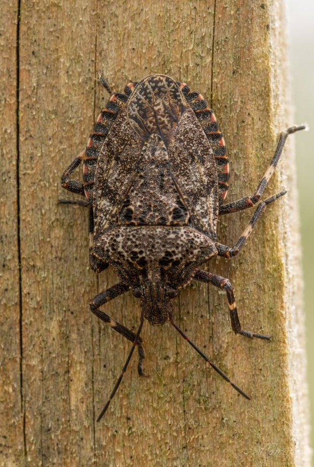 Rough Edged Stink Bug