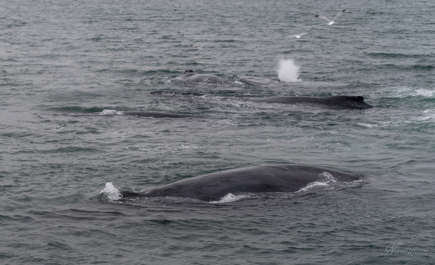 One whale exhaling and one inhaling.